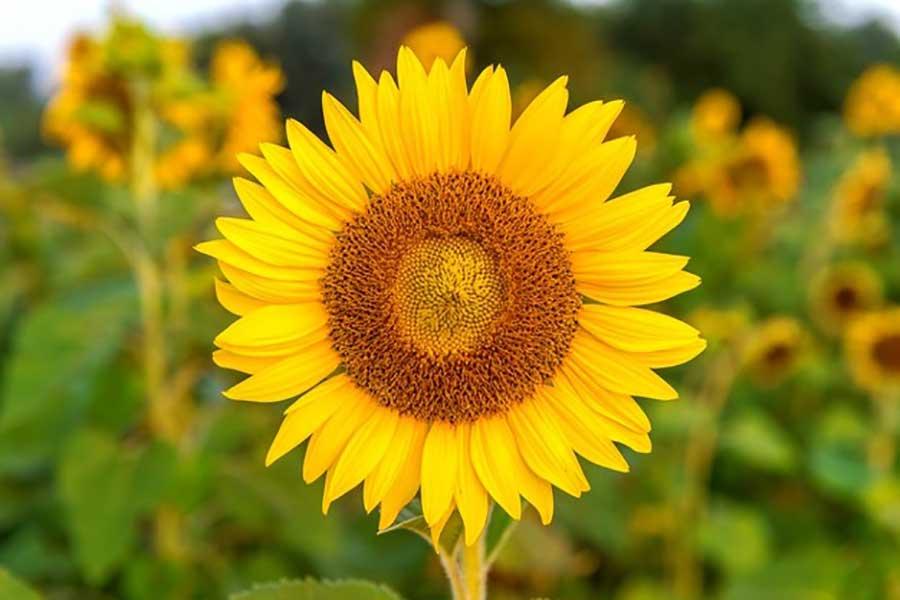 گل آفتابگردان برای عیادت