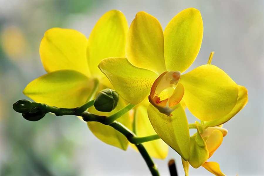 گل آنتریوم زرد برای عیادت