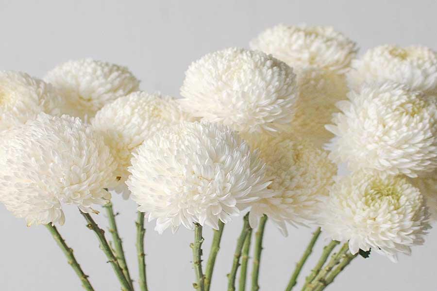 گل داوودی برای عیادت