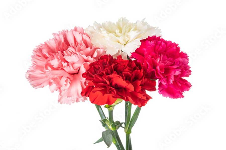 گل میخک برای عیادت بیمار