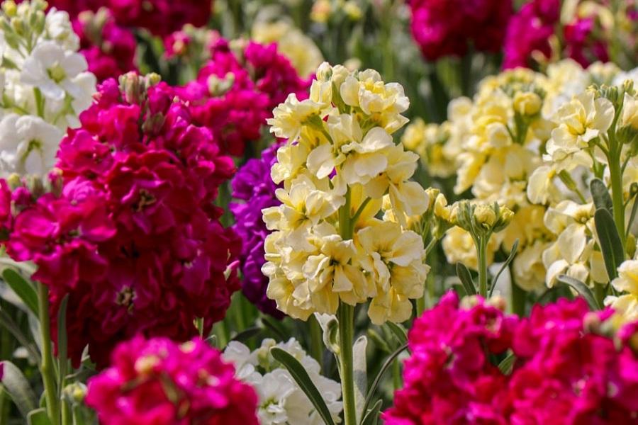 عکس گل برای عید نوروز