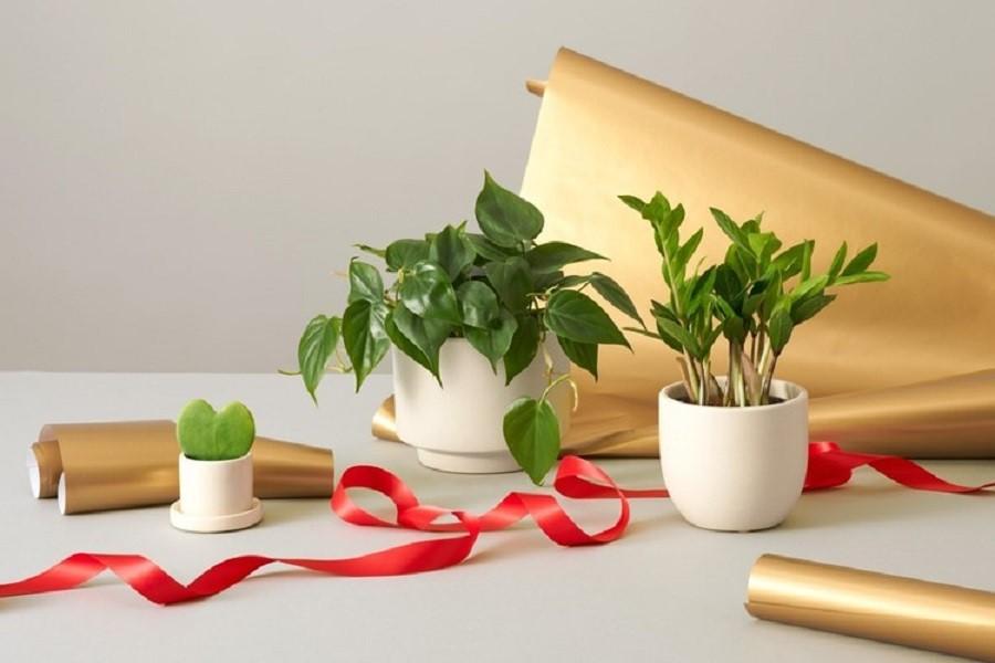 گیاهان آپارتمانی برای هدیه دادن