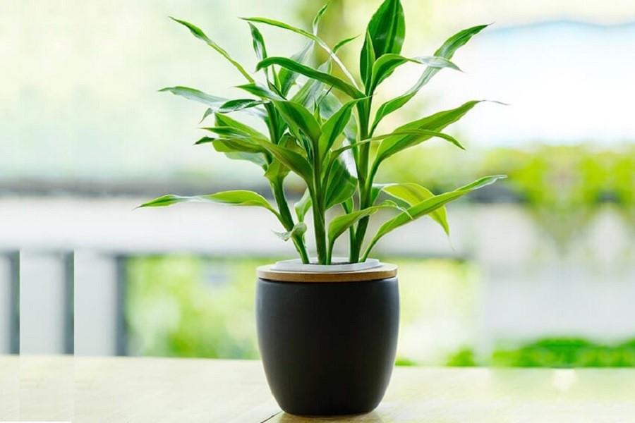 گیاه آپارتمانی خوب برای هدیه