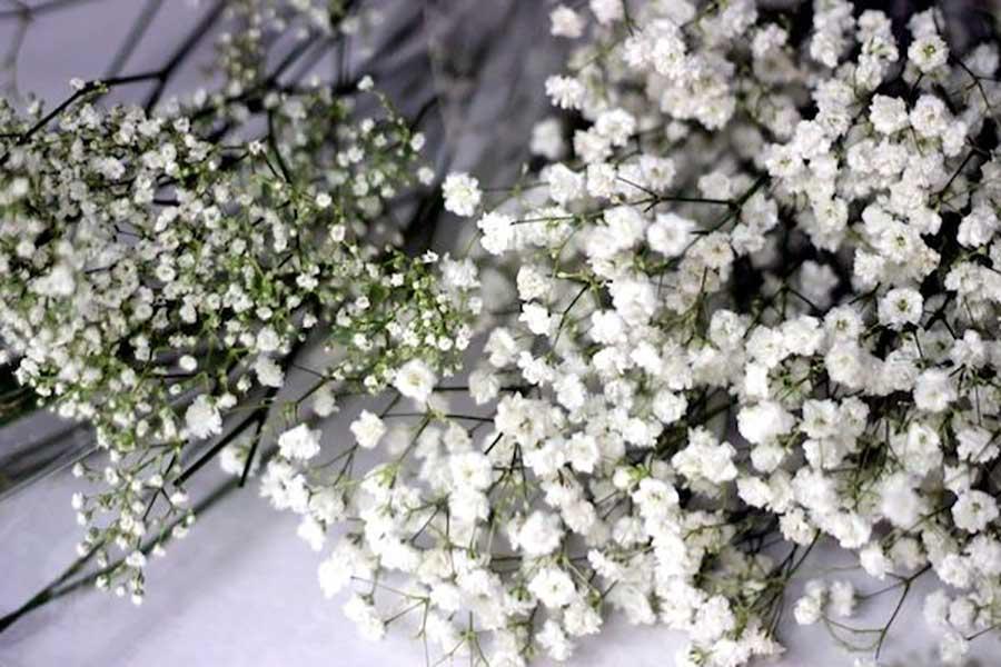 گل ژیپسوفیلا چیست