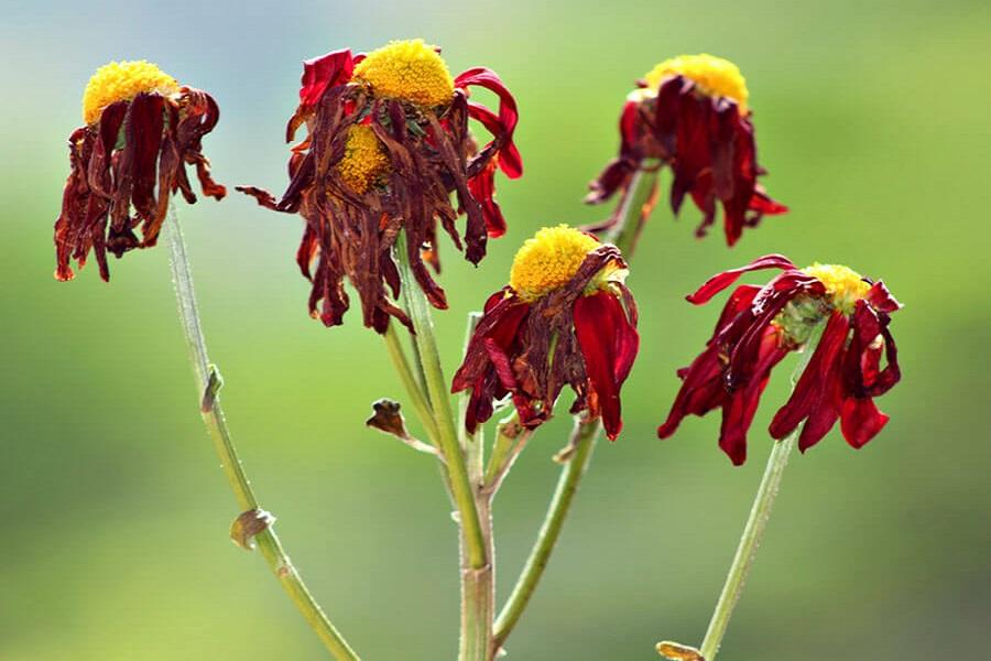 جدا کردن گل های پژمرده