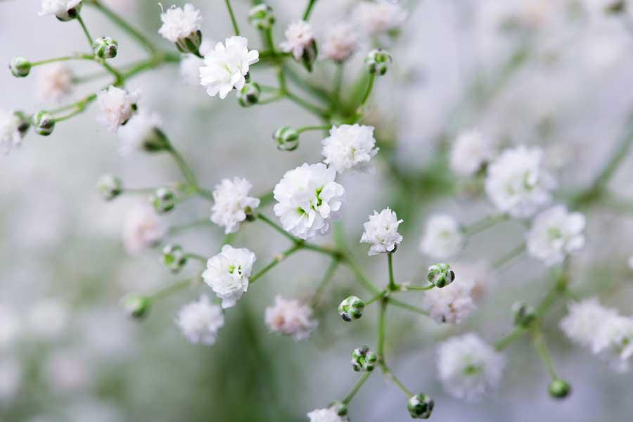 انواع گل ژیپسوفیلا
