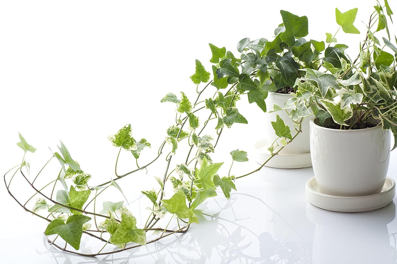 نگهداری گیاه پاپیتال
