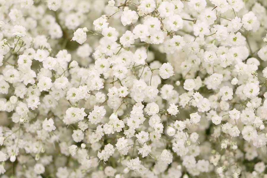 تکثیر گل ژیپسوفیلا
