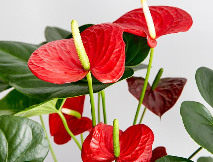 گل آنتریوم