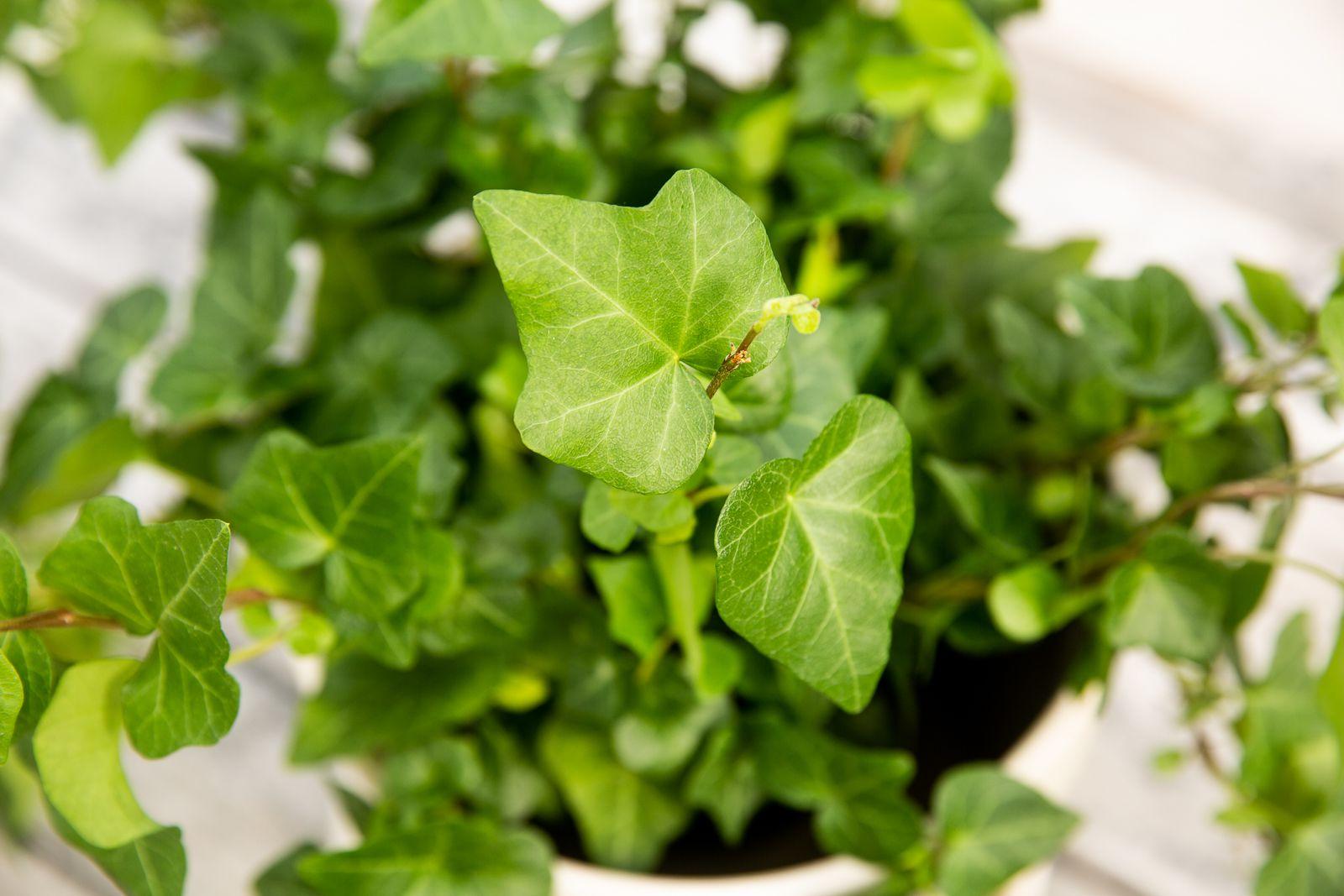 آیا گیاه پاپیتال سمی است