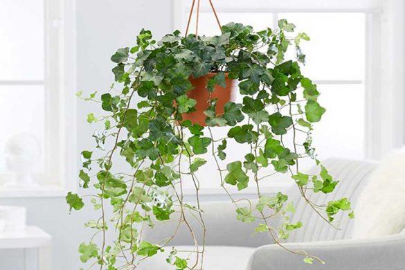 گیاه عشقه