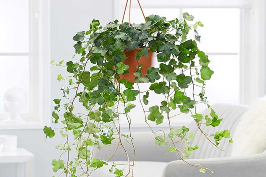 پرورش و نگهداری از گیاه پاپیتال یا هدرا